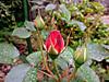 Rose1_2