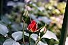 Rose3_2