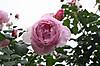 Rose8_2